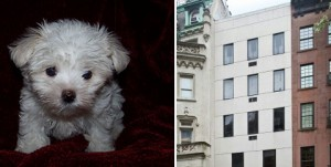 A maltese poodle and 22 East 81st Street